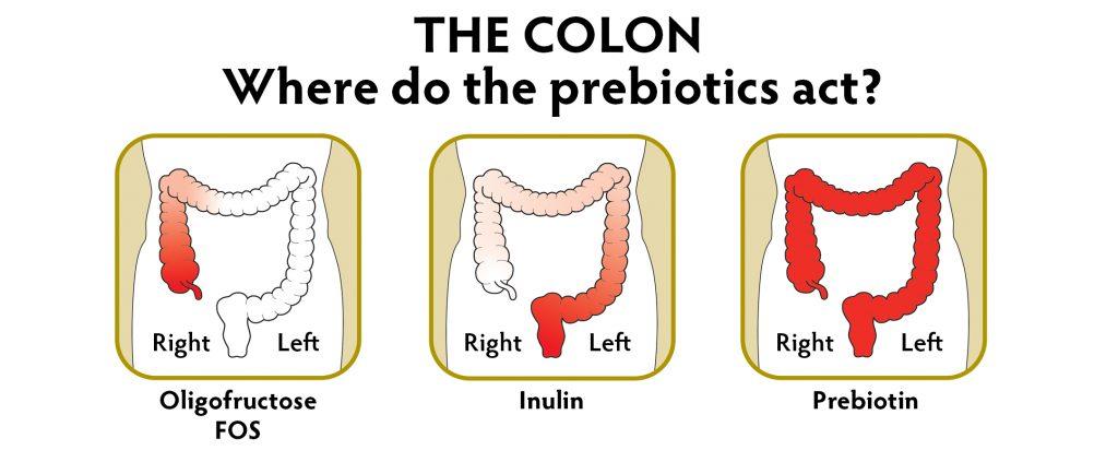 where-prebiotics-act[1]